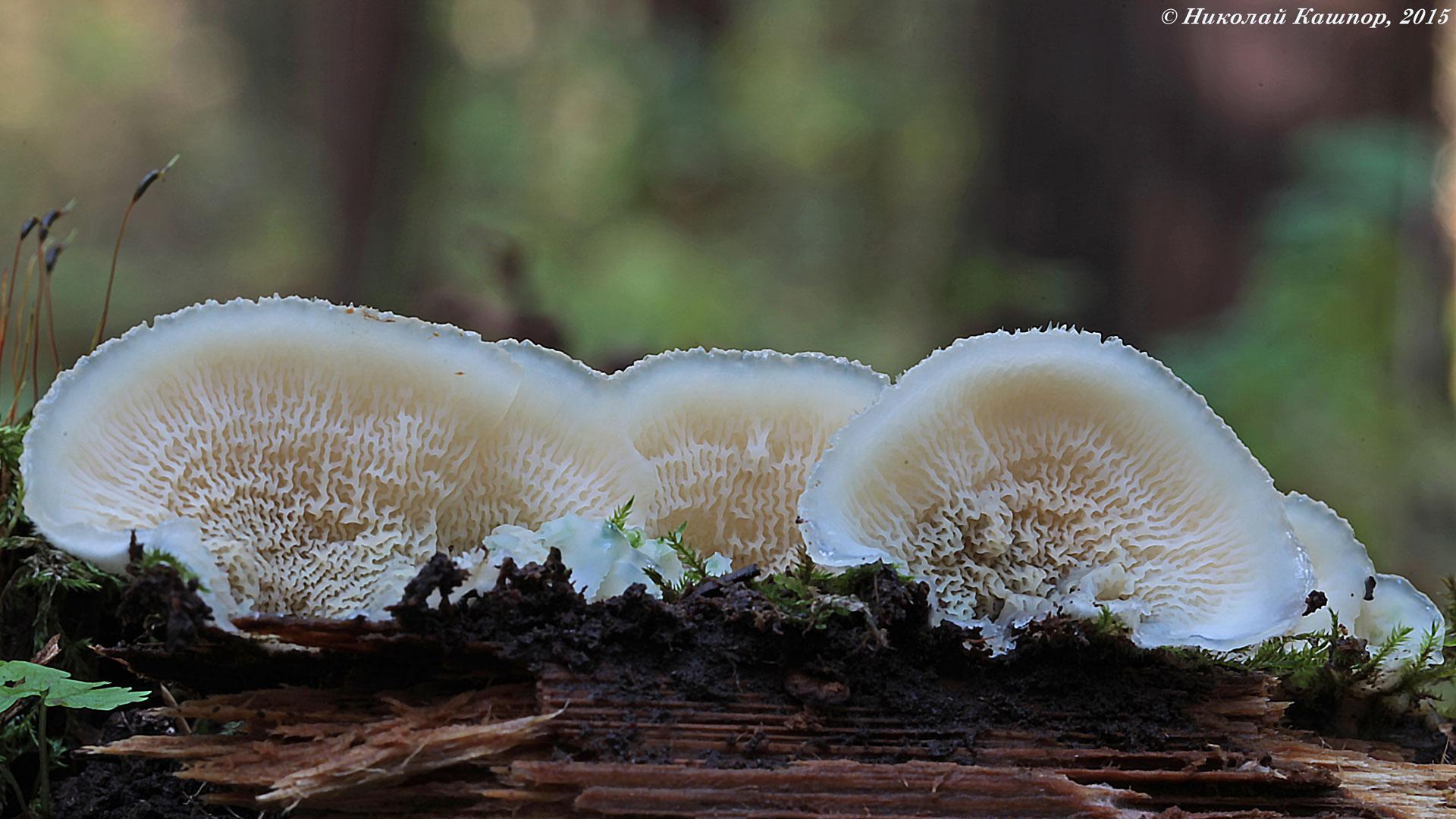 Merulius tremellosus. Автор фото:Кашпор Николай