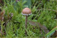 Феогалера болотная (Phaeogalera stagnina)