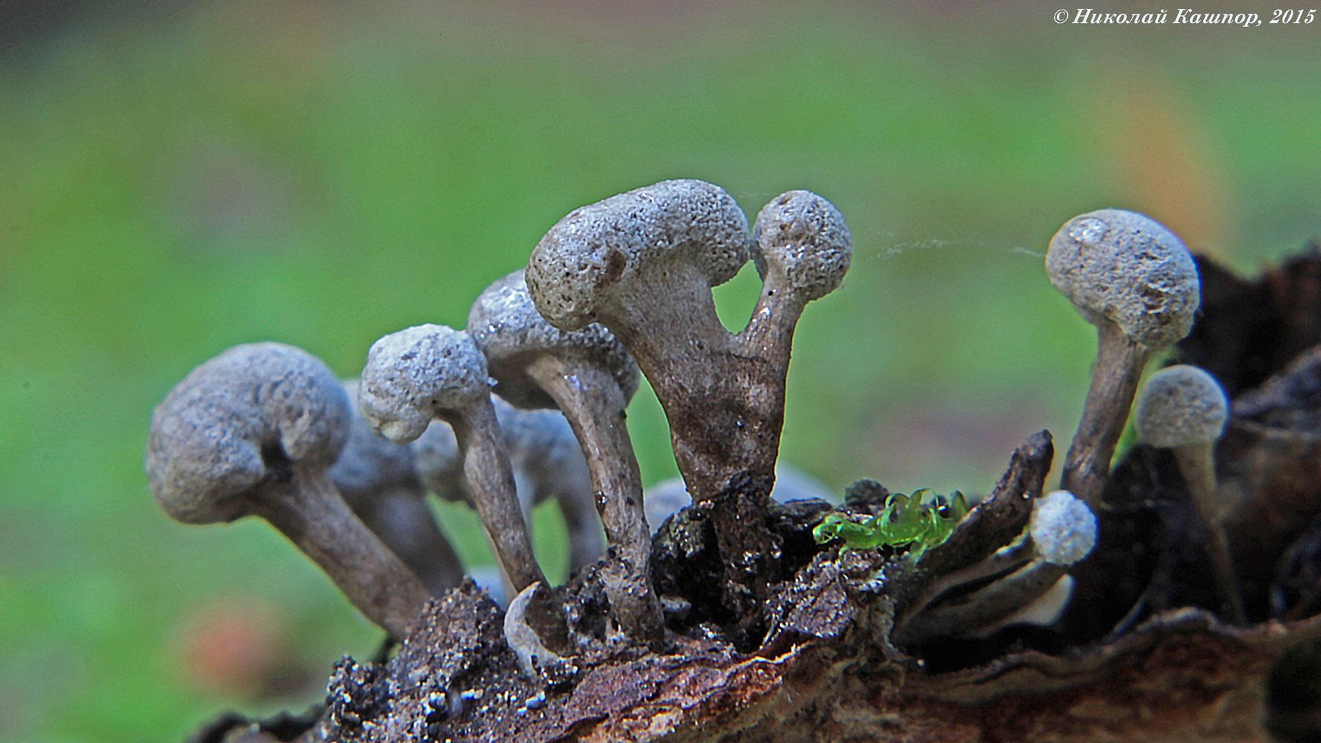 Флеогена буковая (Phleogena faginea). Автор фото: Кашпор Николай