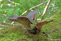 Трутовик каштановый (Royoporus badius)