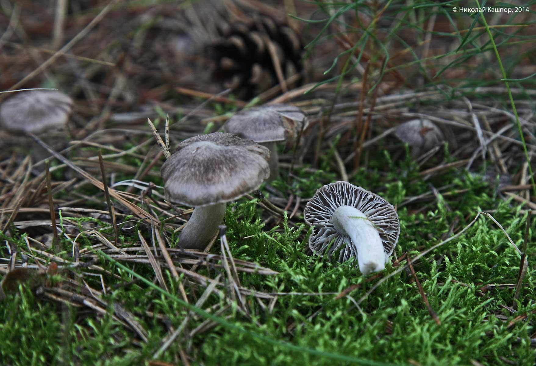 Tricholoma terreum. Автор фото:Кашпор Николай