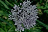 Лук Ледебура (Allium ledebourianum)