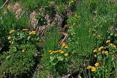Лук Ледебура (Allium ledebourianum) Восточный <span class=wiki>Казахстан</span>, окрестности г.Риддер.&nbsp;&nbsp; хребет Проходной белок. 16.05.2009 г. Автор фото: Ольга Кузнецова