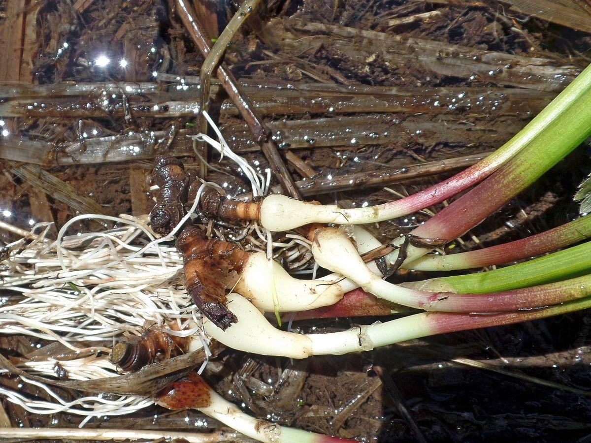 Лук Ледебура (Allium ledebourianum). Автор фото:Ольга Кузнецова