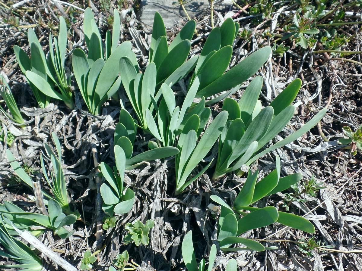 Лук поникающий (Allium nutans). Автор фото:Ольга Кузнецова
