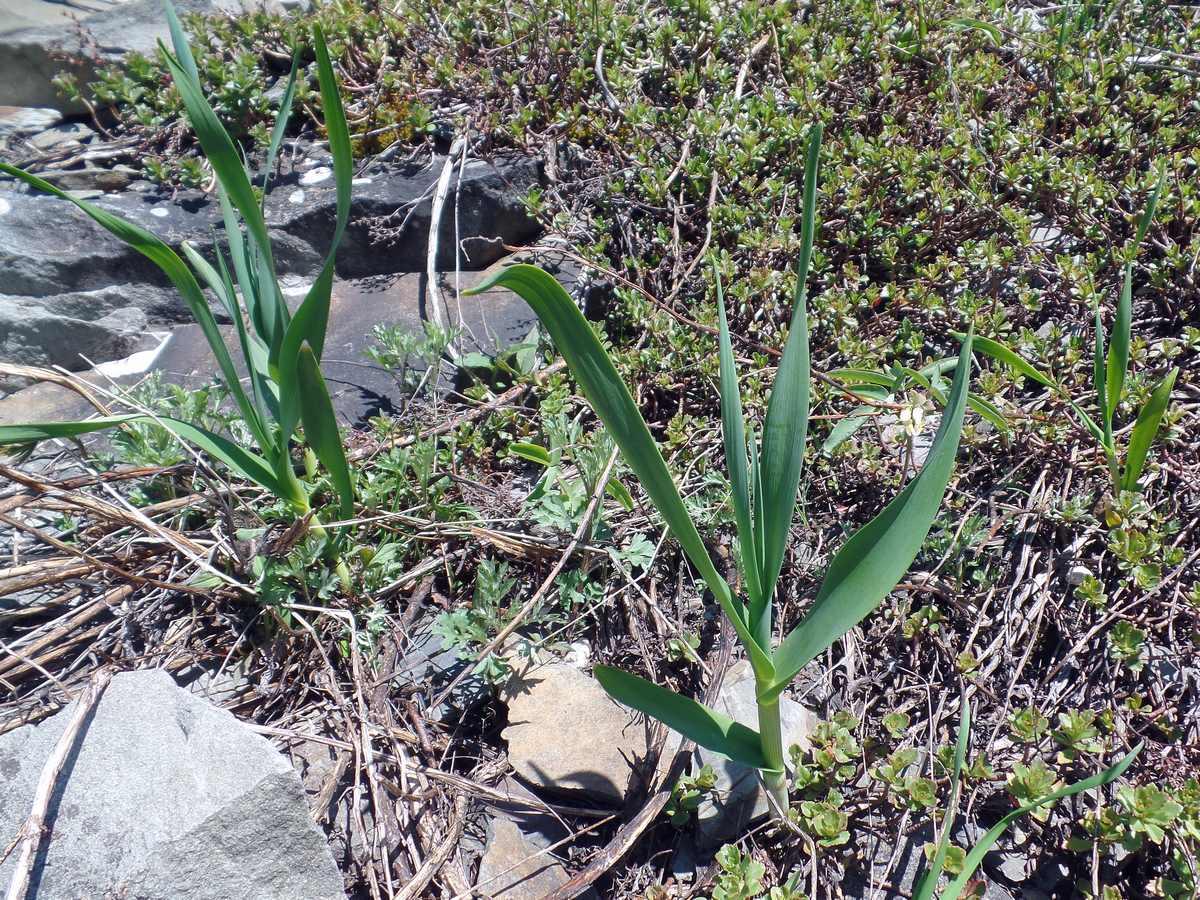 Лук косой (Allium obliquum). Автор фото: Ольга Кузнецова