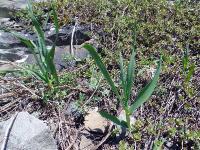 s:травянистые,s:луковичные,s:розеточные,b:прямостоячий,околоцветник актиноморфный,лепестков 6,соцветия - зонтик