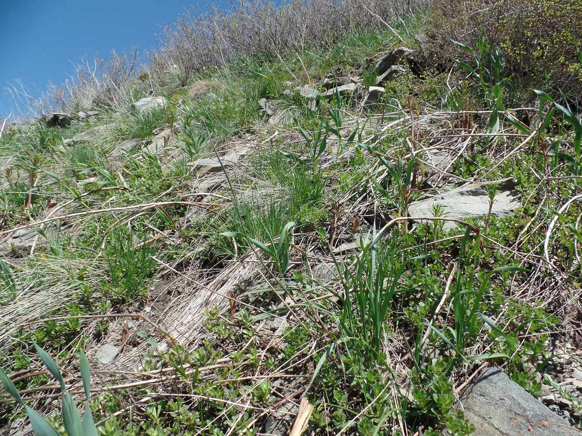 Лук косой (Allium obliquum). Автор фото:Ольга Кузнецова