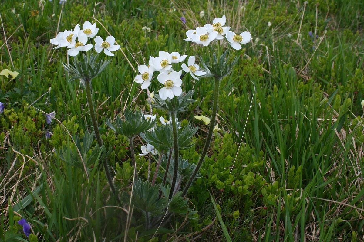 Ветреник косматый (Anemonastrum crinitum). Автор фото: Ольга Кузнецова