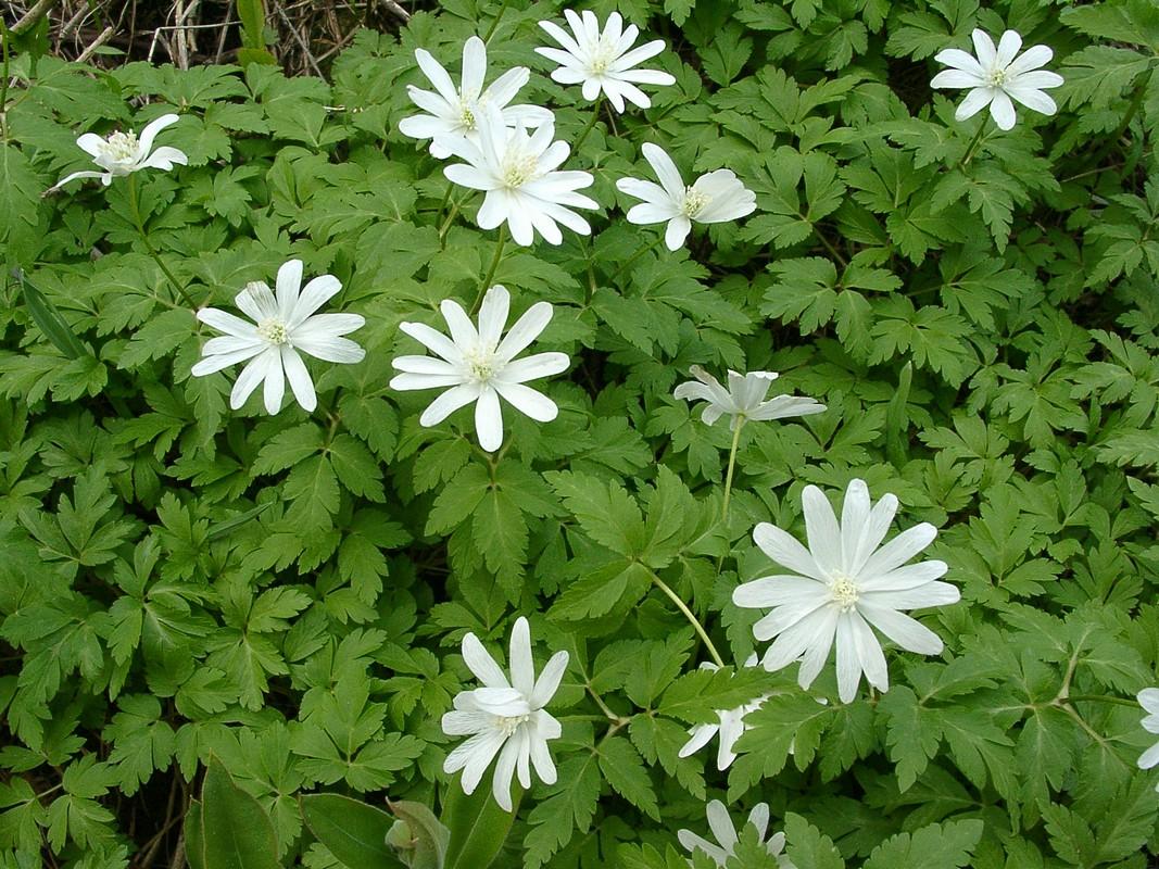 Ветреничка алтайская (Anemonoides altaica). Автор фото: Ольга Кузнецова