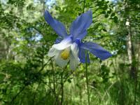 s:травянистые,b:прямостоячий,l:очередные,c:белые,c:голубые,лепестков 5,околоцветник актиноморфный,околоцветник со шпорцем,f:листовка,i:ядовитые,i:лекарственные
