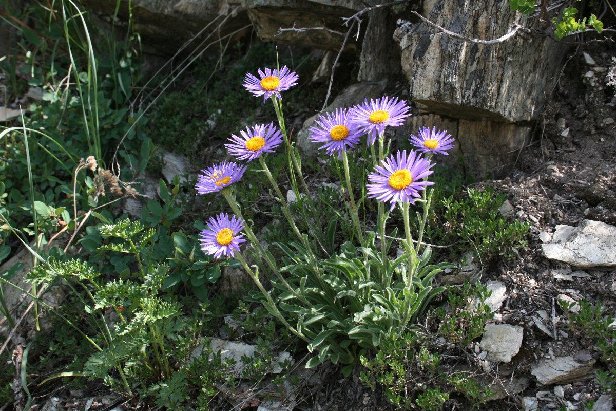 Астра альпийская (Aster alpinus). Автор фото: Ольга Кузнецова