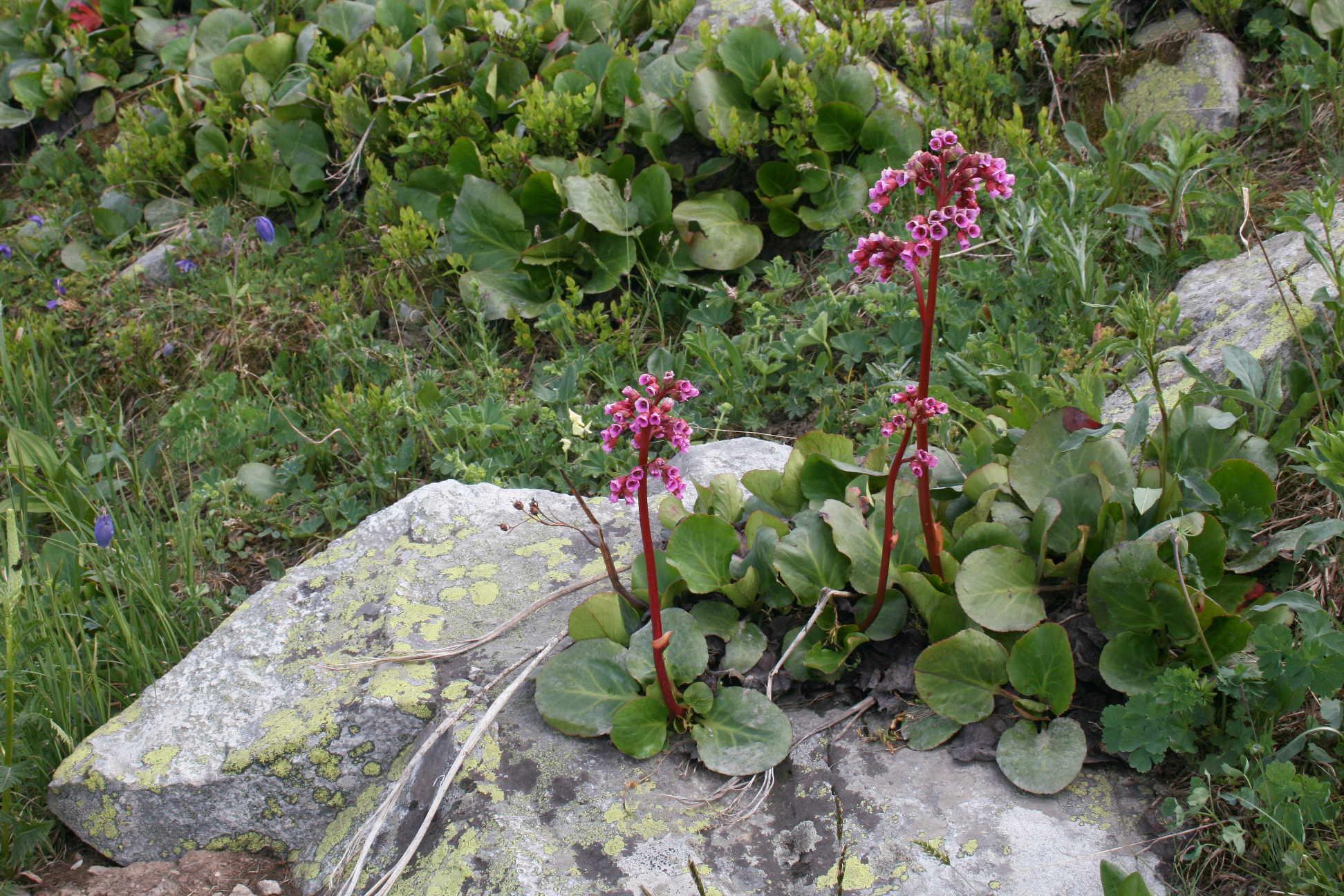 Бадан толстолистный (Bergenia crassifolia). Автор фото:Ольга Кузнецова