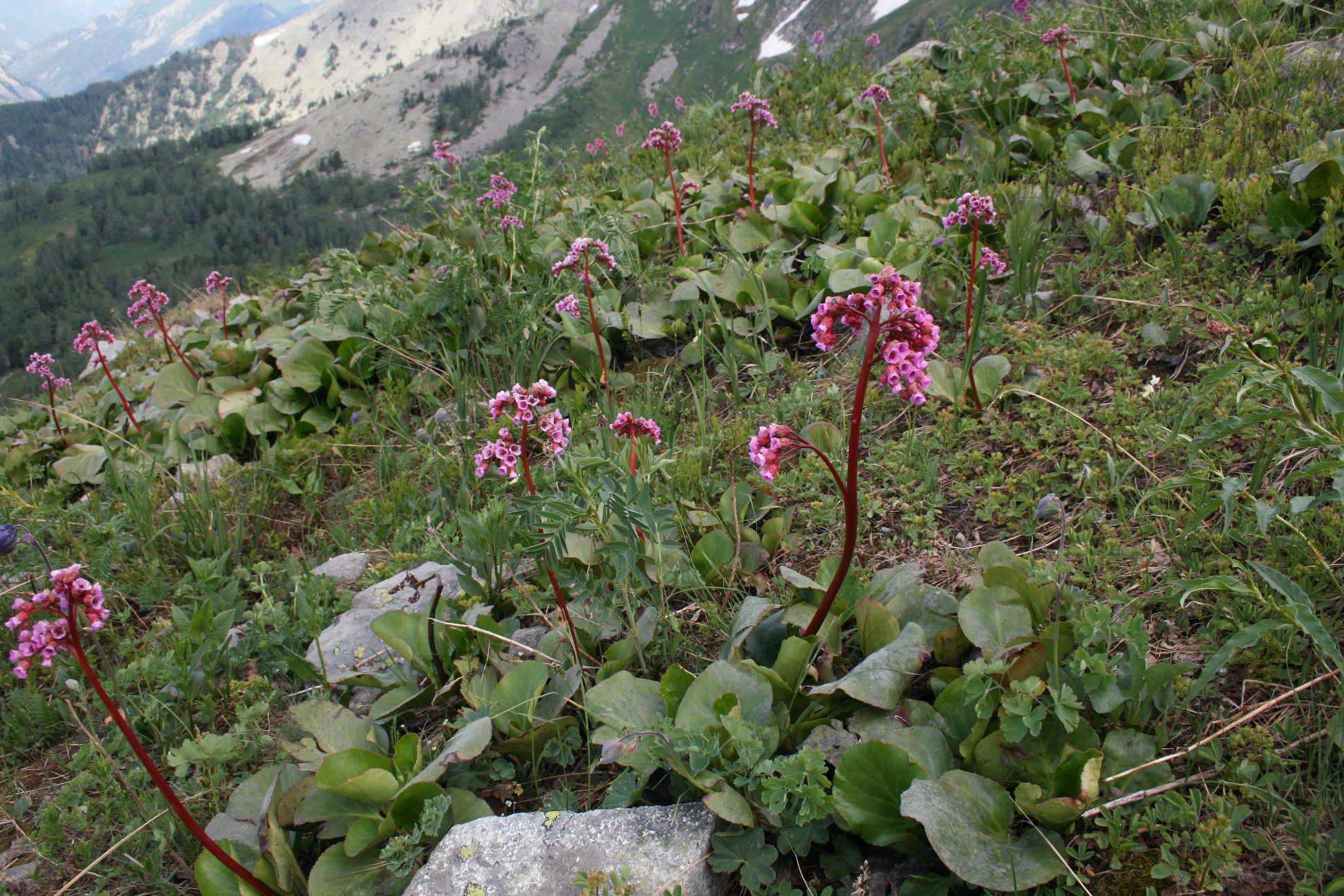 Бадан толстолистный (Bergenia crassifolia). Автор фото: Ольга Кузнецова
