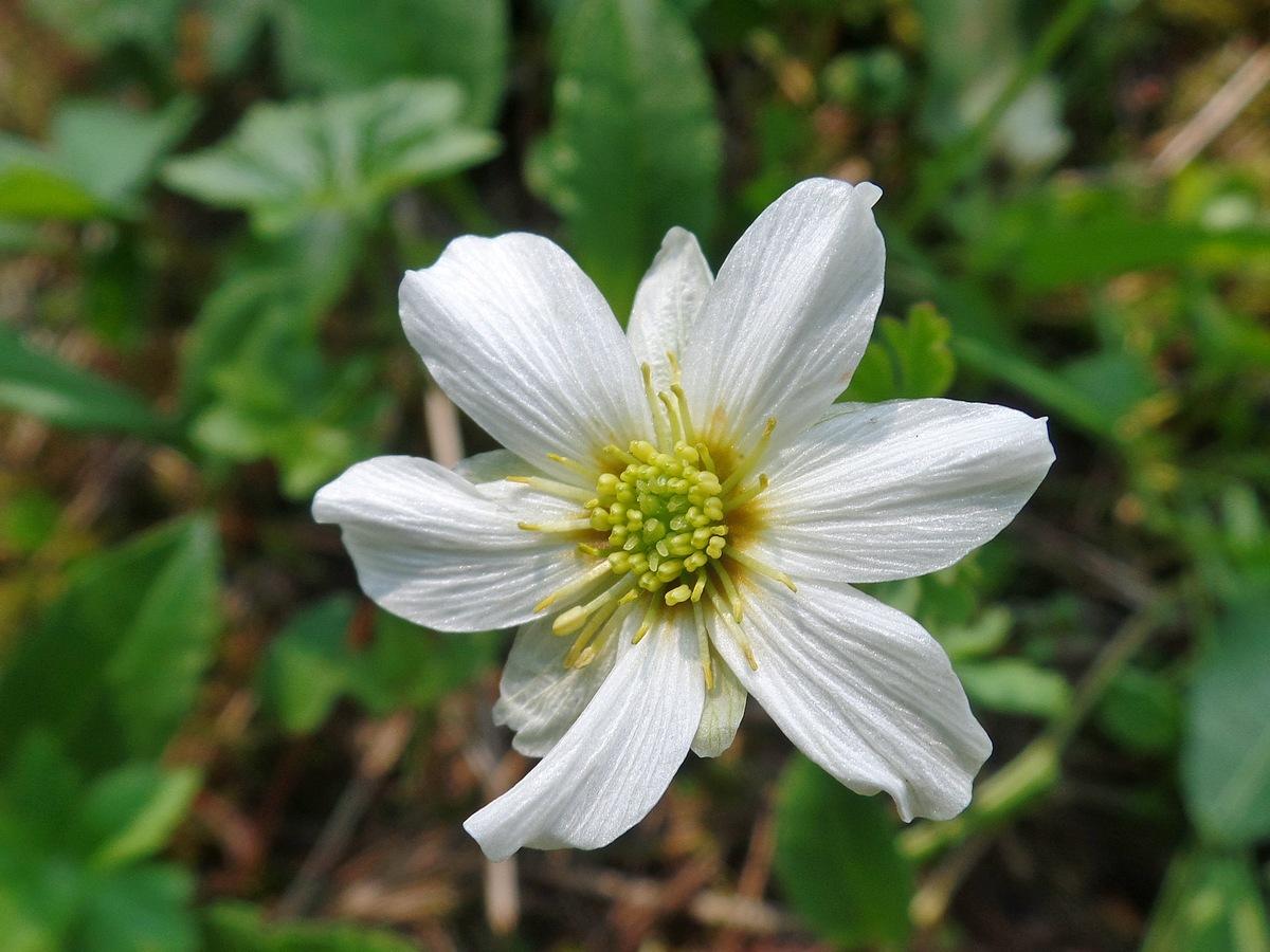 Каллиантемум саянский (Callianthemum sajanense). Автор фото: Ольга Кузнецова