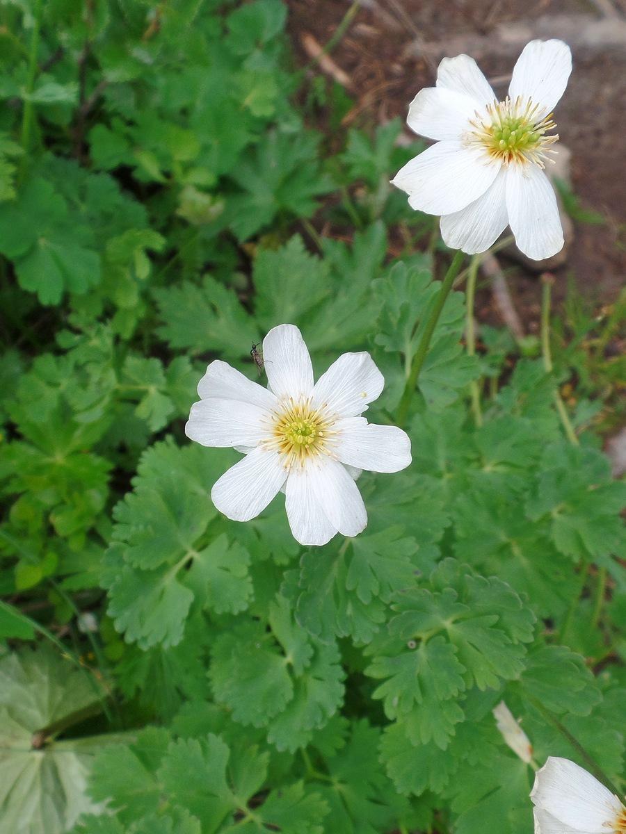 Каллиантемум саянский (Callianthemum sajanense). Автор фото:Ольга Кузнецова