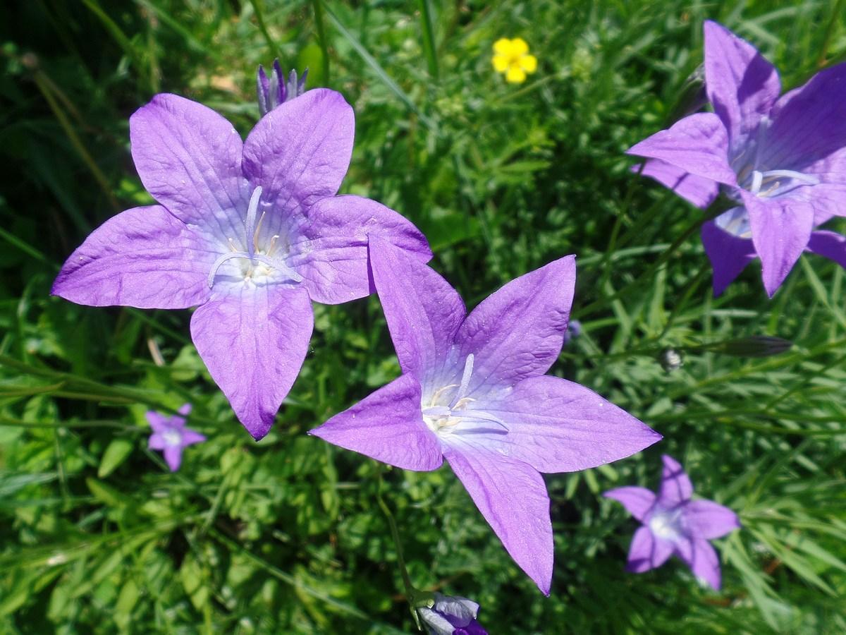 Колокольчик алтайский (Campanula altaica). Автор фото: Ольга Кузнецова