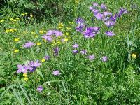 Колокольчик алтайский (Campanula altaica)