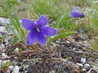 c:синие,c:лиловые,околоцветник актиноморфный,лепестков 5,s:травянистые