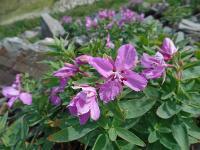 s:травянистые,i:многолетние,i:лекарственные,i:декоративные,лепестков 4,околоцветник актиноморфный,c:лилово-розовые