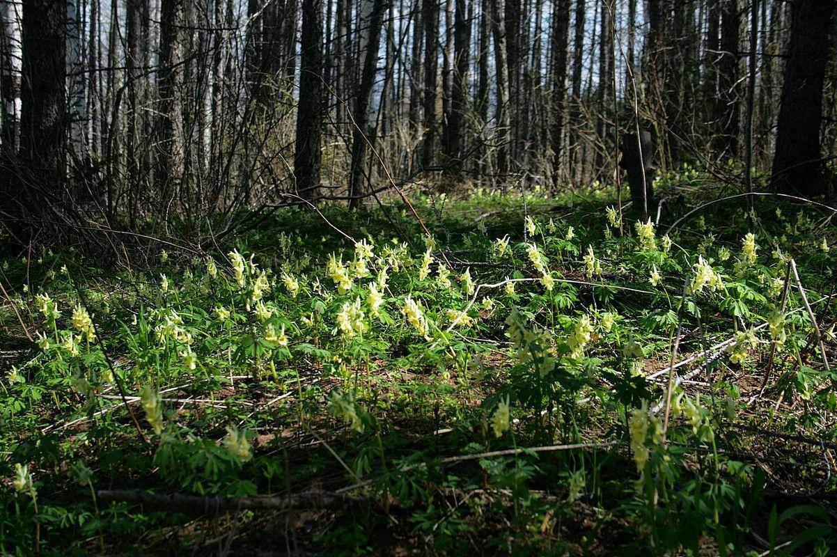 Хохлатка крупноприцветниковая (Corydalis bracteata). Автор фото:Ольга Кузнецова