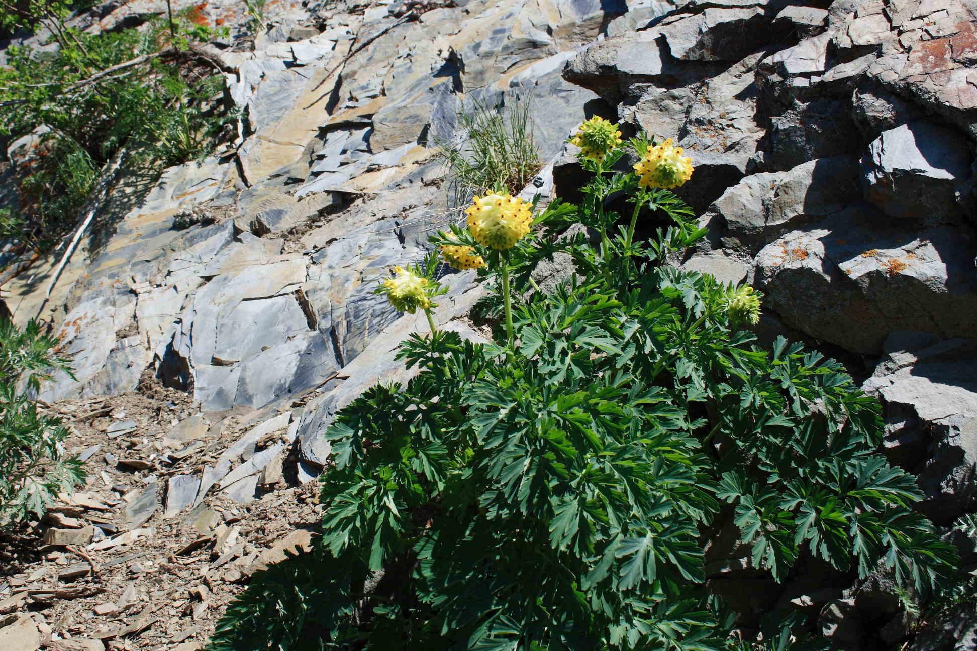Хохлатка благородная (Corydalis nobilis). Автор фото: Ольга Кузнецова