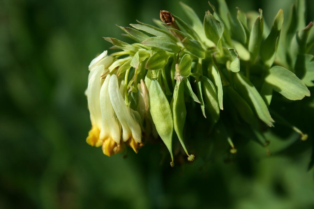 Хохлатка благородная (Corydalis nobilis). Автор фото:Ольга Кузнецова