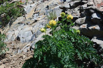 Хохлатка благородная (Corydalis_nobilis). Снимок сделан на обочине дороги при подъеме на хребет Проходной белок 16.05.2009 года. Автор фото: Ольга Кузнецова