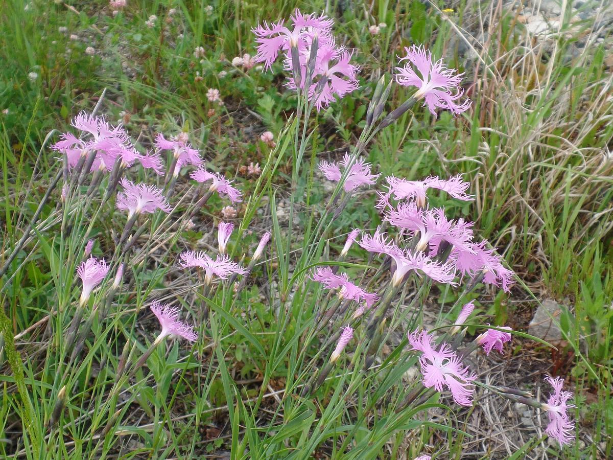 Гвоздика пышная (Dianthus superbus). Автор фото:Ольга Кузнецова