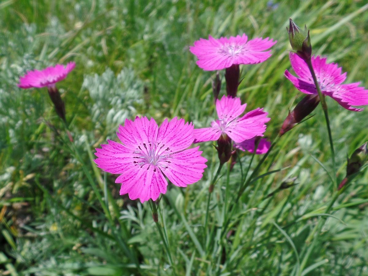 Гвоздика разноцветная (Dianthus versicolor). Автор фото:Ольга Кузнецова