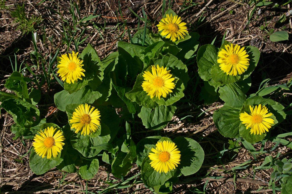 Дороникум алтайский (Doronicum altaicum). Автор фото: Ольга Кузнецова