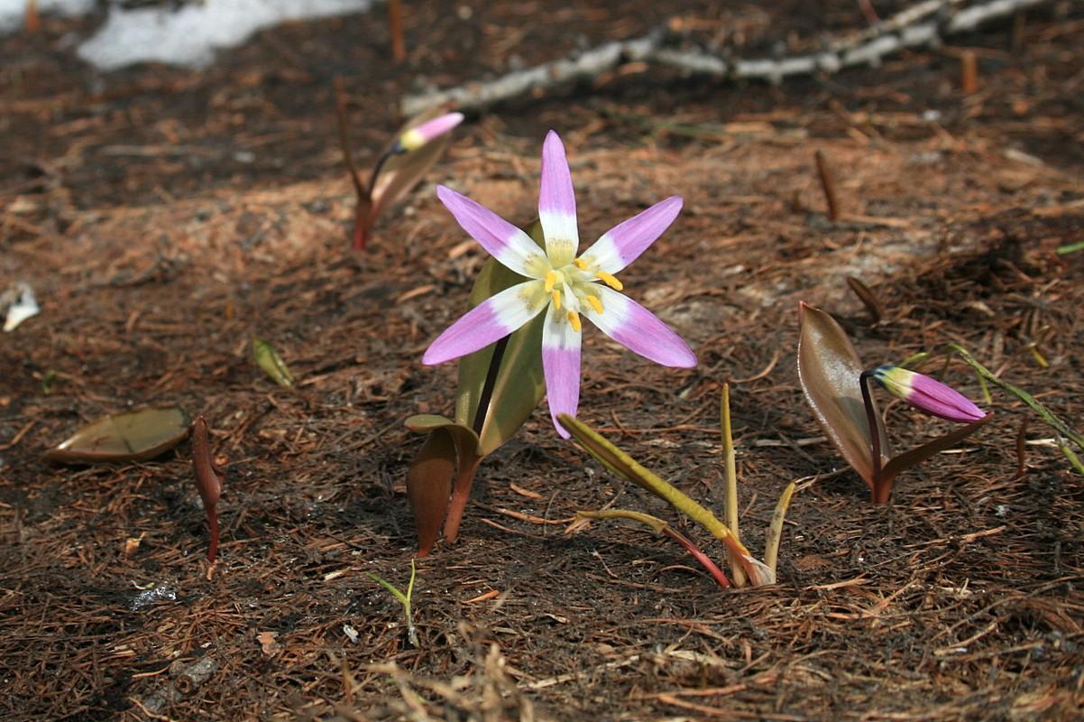 Кандык сибирский (Erythronium sibiricum). Автор фото: Ольга Кузнецова