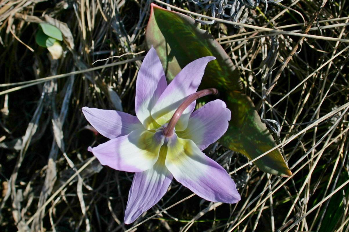 Кандык сибирский (Erythronium sibiricum). Автор фото:Ольга Кузнецова