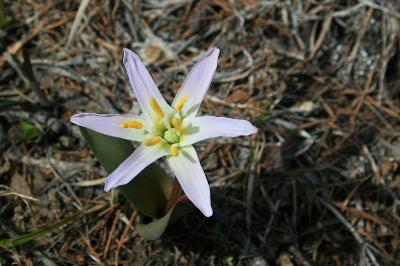 Кандык сибирский (Erythronium sibiricum) Автор фото: Ольга Кузнецова