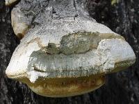 Fomitopsis officinalis