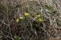 s:травянистые,s:луковичные,лепестков 6,околоцветник актиноморфный,соцветия - зонтик,i:редкие и охраняемые,d:на каменистых склонах