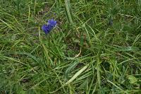 Горечавка лежачая (Gentiana decumbens)