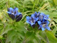 s:травянистые,c:синие,l:супротивные,околоцветник сростнолепестный,околоцветник актиноморфный,f:коробочка,лепестков 5