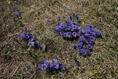 Горечавка крупноцветковая (Gentiana grandiflora) Автор фото: Ольга Кузнецова