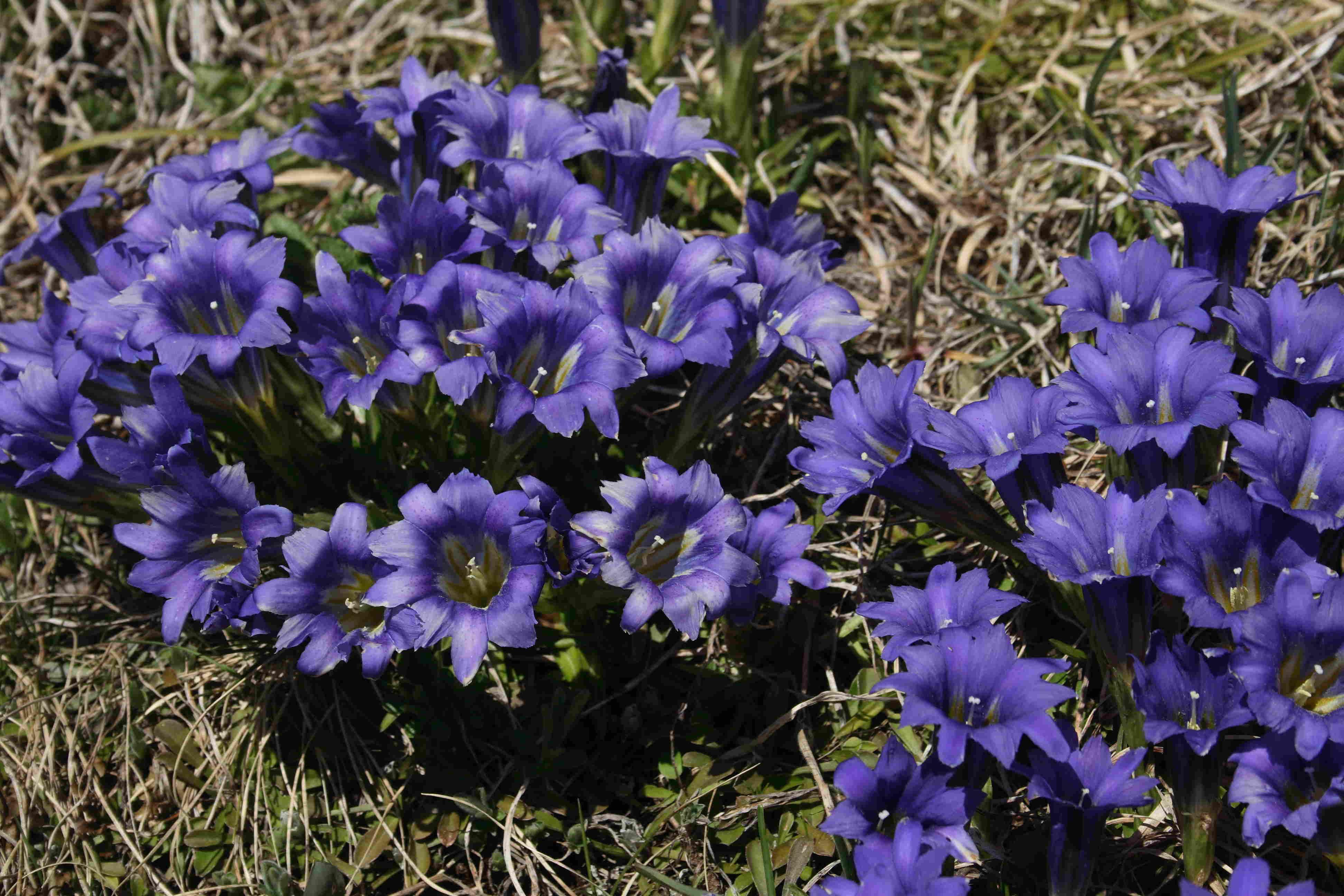 Горечавка крупноцветковая (Gentiana grandiflora). Автор фото: Ольга Кузнецова