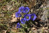 Горечавка крупноцветковая (Gentiana grandiflora)