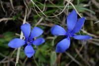 Горечавка весенняя (Gentiana verna)