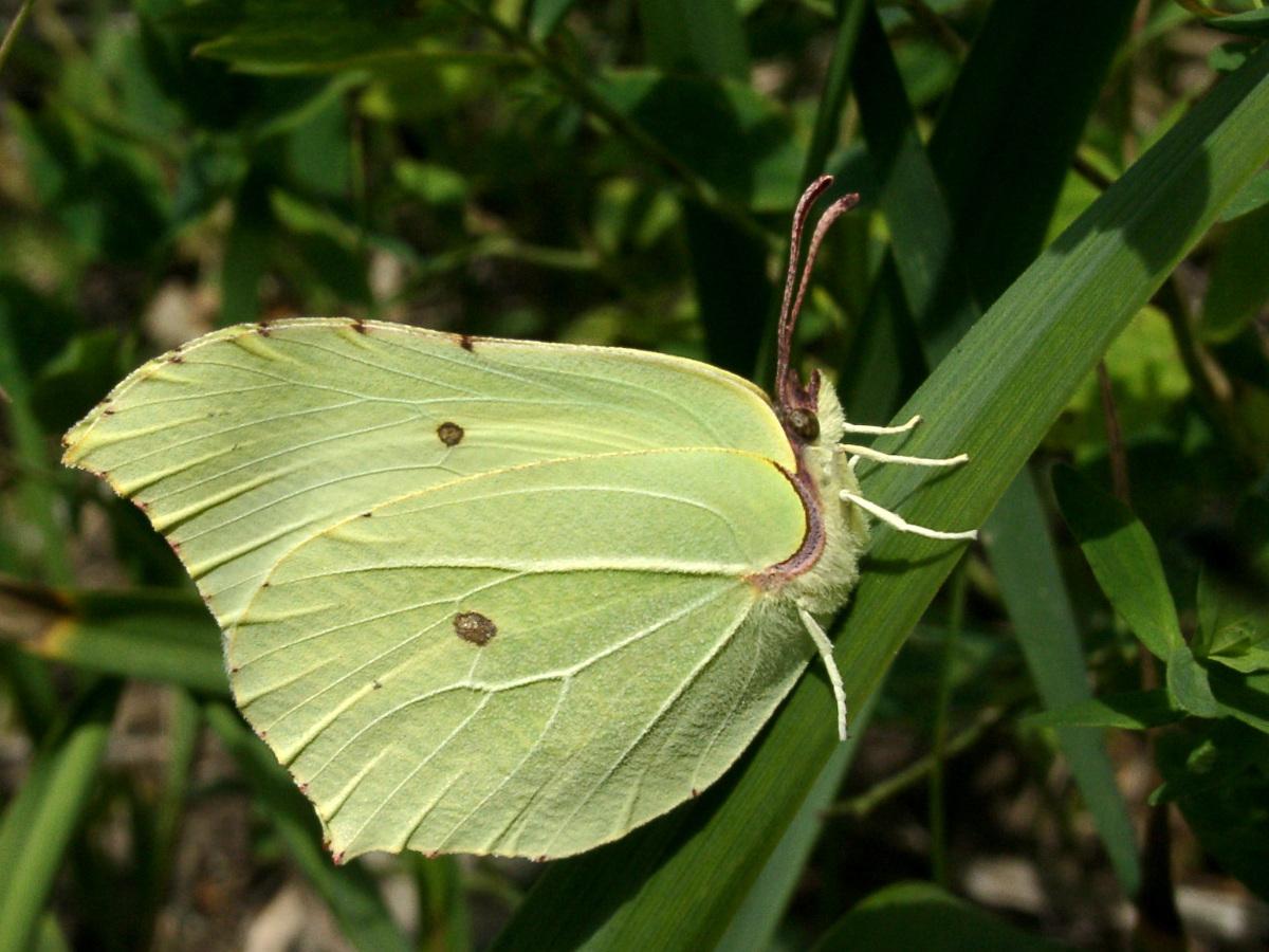 Бабочка Крушинница (Gonepteryx rhamn). Автор фото:Ольга Кузнецова