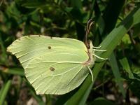 Бабочка Крушинница (Gonepteryx rhamn)