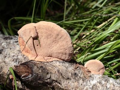 Гапалопилус красноватый (Hapalopilus rutilans) Автор: Ольга Кузнецова