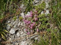s:травянистые,s:соккуленты,лепестков 5,околоцветник актиноморфный,i:культивируемые,i:декоративные,d:на каменистых склонах,c:красные,c:розовые