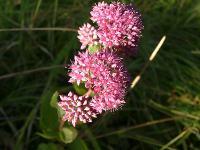 s:травянистые,s:соккуленты,лепестков 5,околоцветник актиноморфный,c:красные,c:розовые,соцветия - щиток