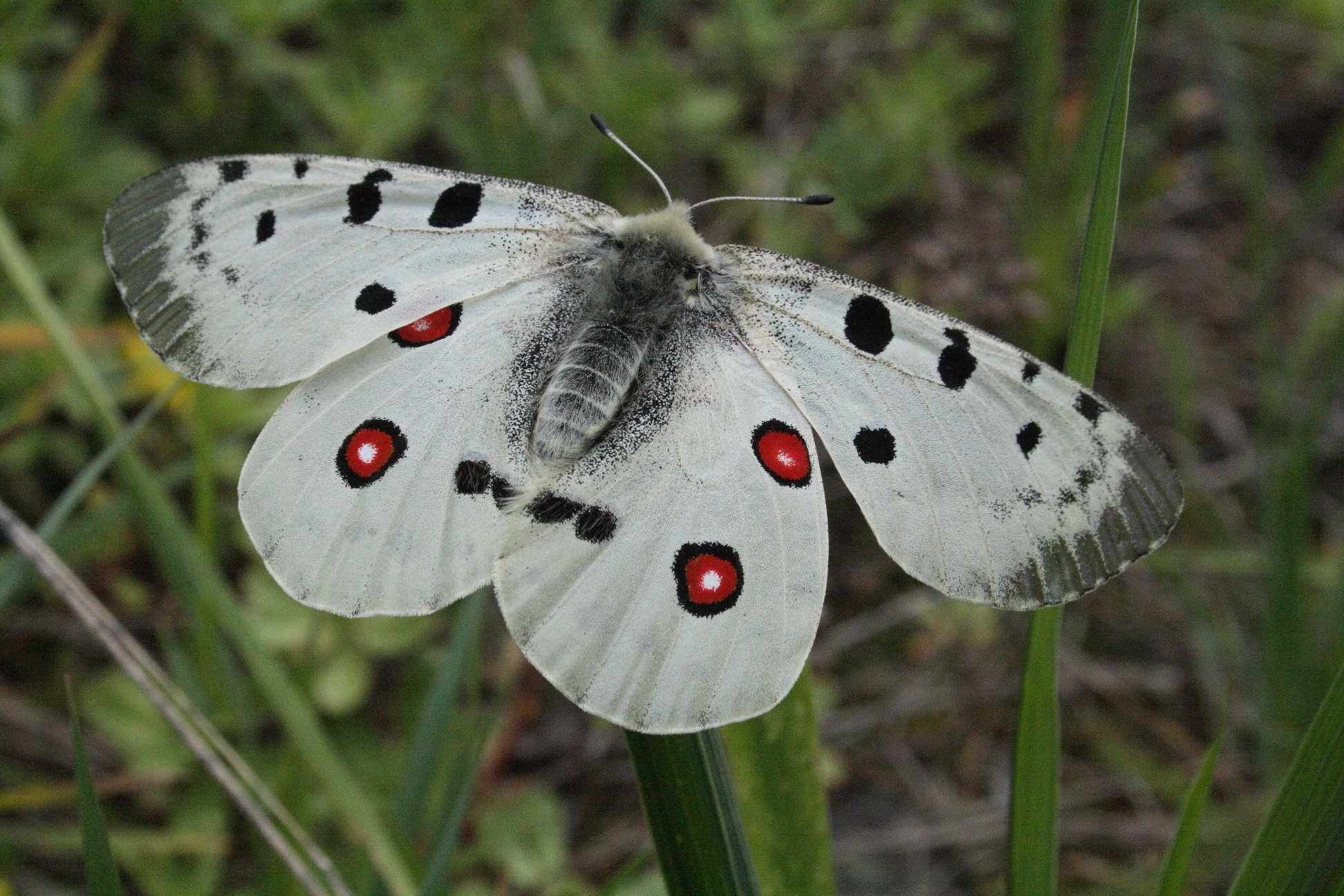 Бабочка Аполлон (Parnassius apollo). Автор фото: Ольга Кузнецова