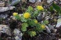 c:желтые,c:зеленые,сукуленты,околоцветник актиноморфный,лепестков 4,лепестков 5,f:листовка,i:редкие и охраняемые,i:лекарственные,d:на каменистых склонах