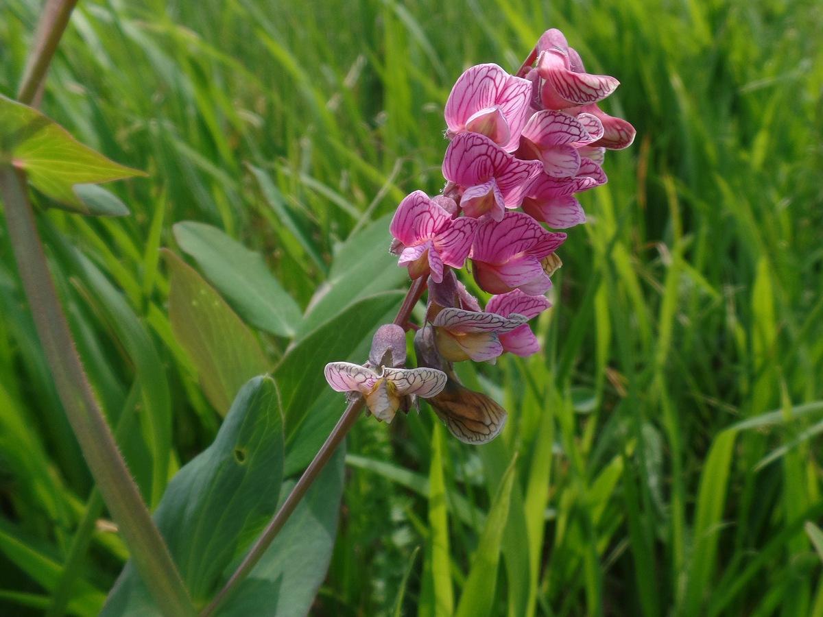 Чина гороховидная (Lathyrus pisiformis). Автор фото: Ольга Кузнецова